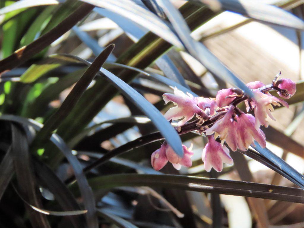 Et utrolig vakker liljegress i fargen opp mot svart
