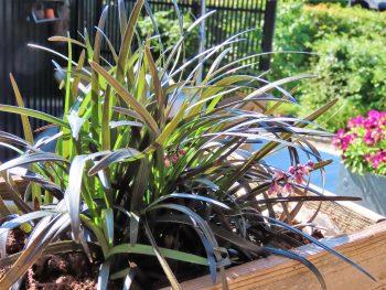 Ophiopogon Planiscapus-nigrescens - svart liljegress- et vakkert og meget dekorativt gress