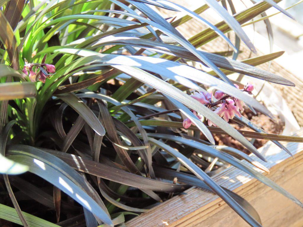 Ophiopogon Planiscapus-nigrescens - svart liljegress