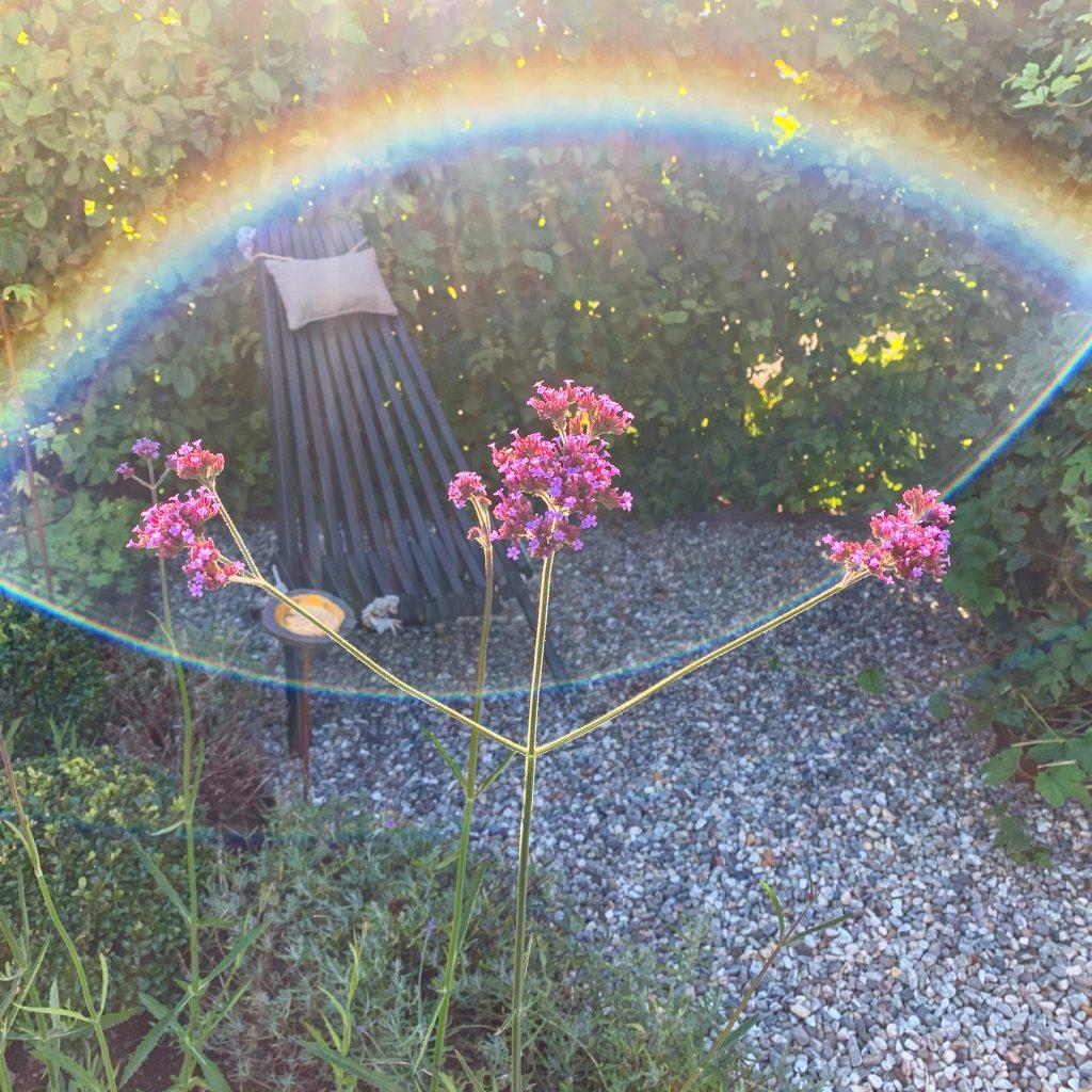 Kjempeverbena i solbue - vakkert skue