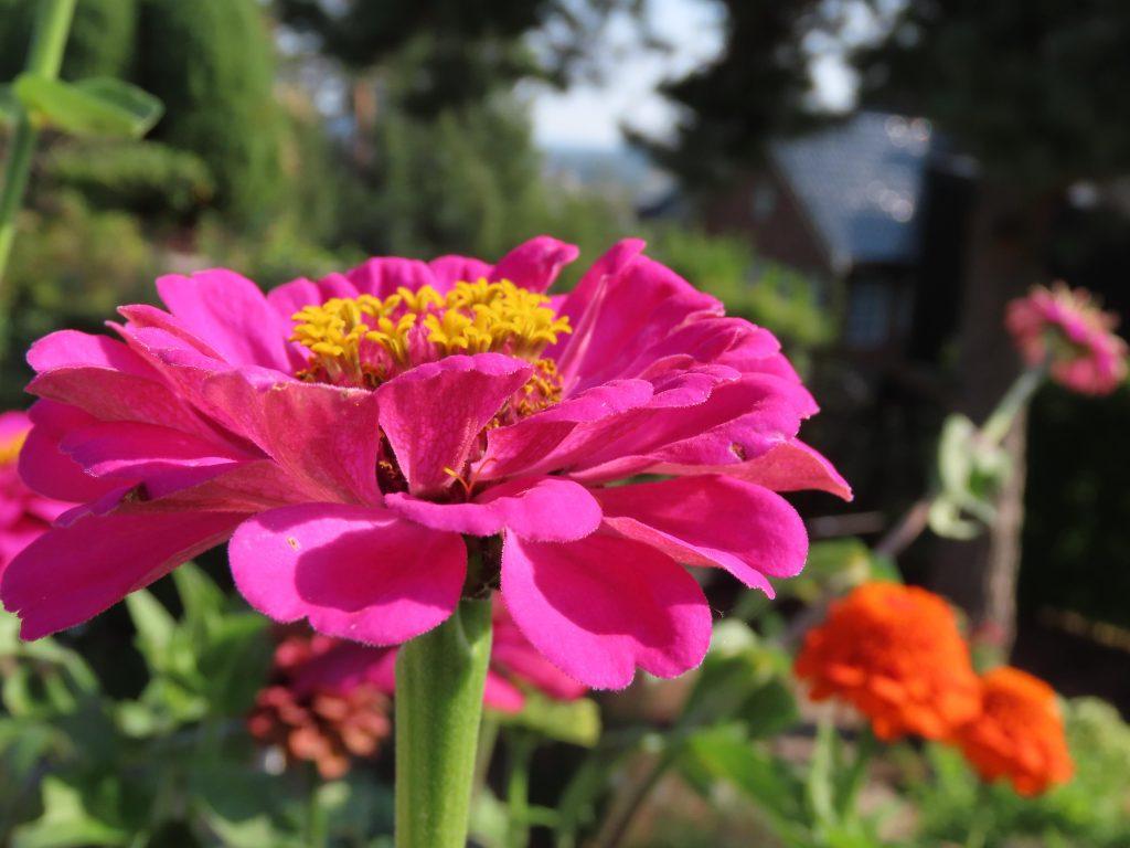 Nærbilde av sommerblomst i hagen til Wenche