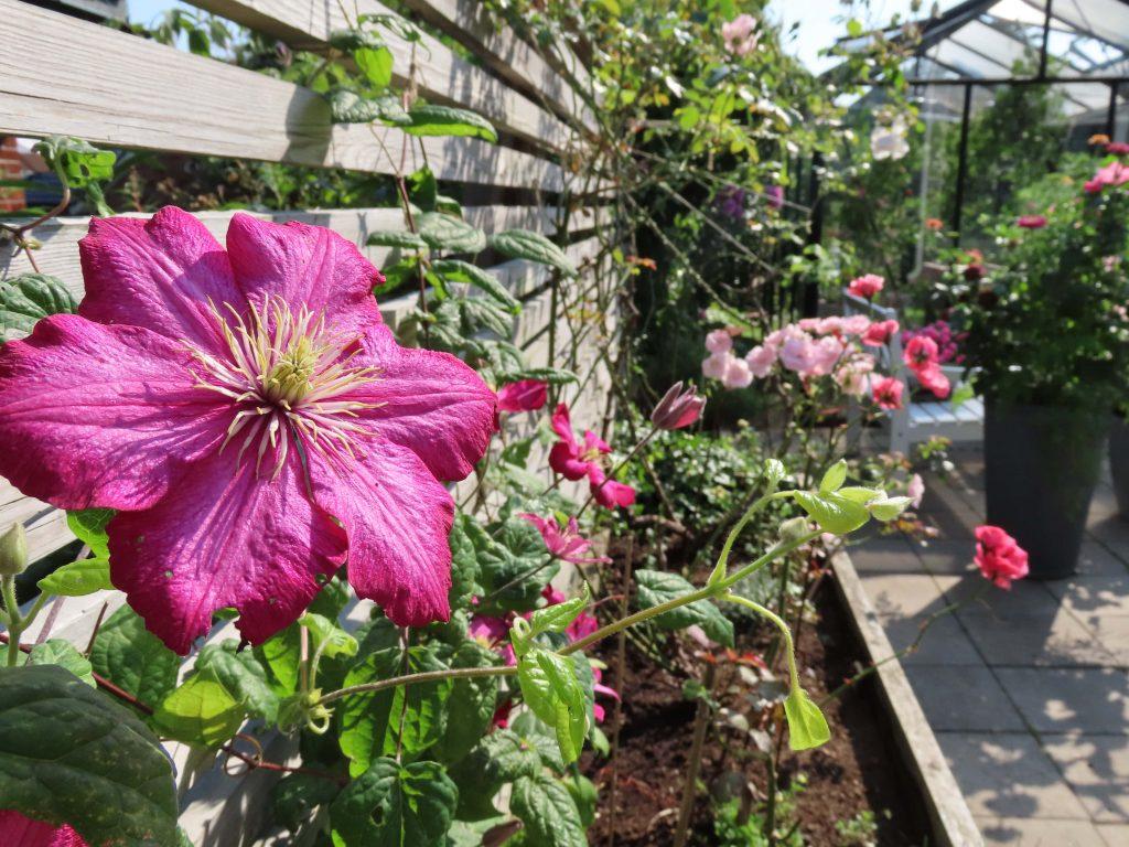 På hagevandring hos Wenche - Klematis som myker opp en levegg