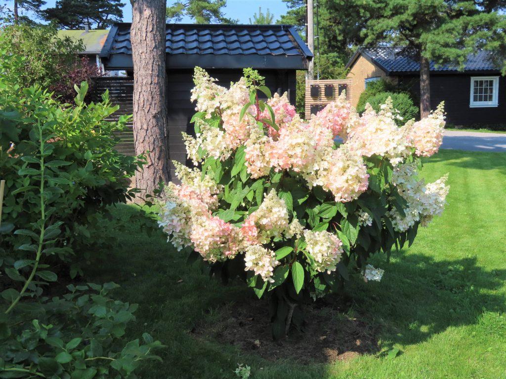 På hagevandring hos Wenche - Syrinhortensia