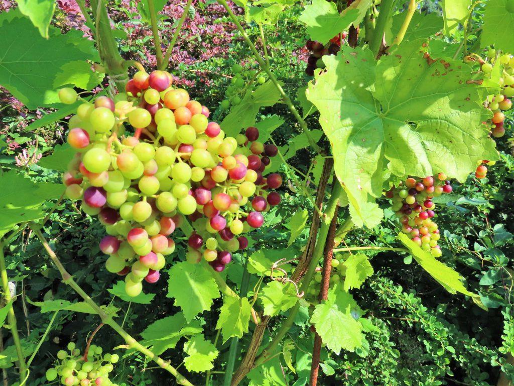 På hagevandring hos Wenche - druer dyrkes det også
