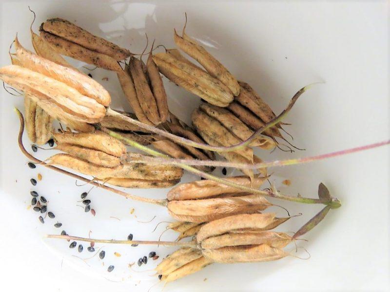 Å sanke frø i hagen - Akeleiefrø