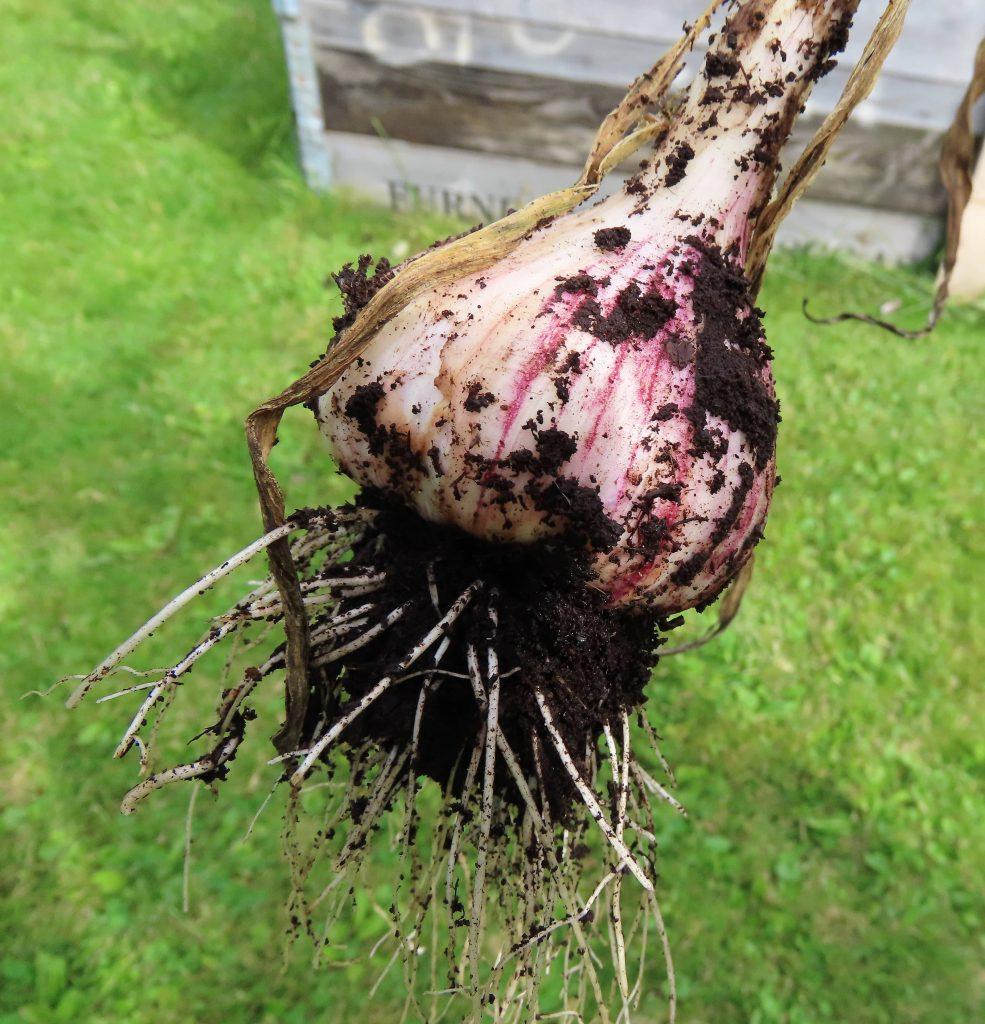 Nærbilde av hvitløk i Pias kolonihage