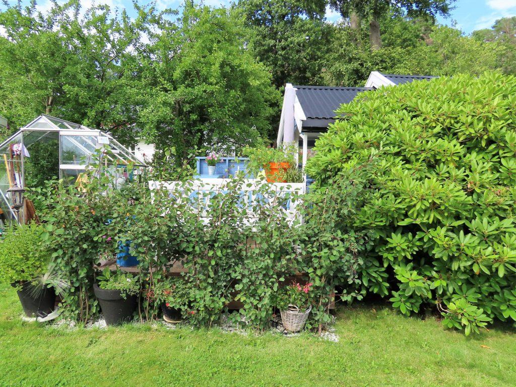 På besøk hos Pia i sjarmerende Kongsgård kolonihager - Pias hytte er innrammet av hekk og Rododendron