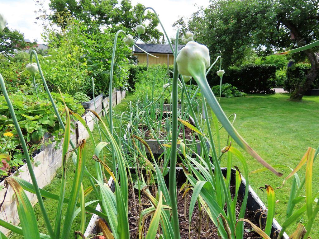 På besøk hos Pia i sjarmerende Kongsgård kolonihager - mange dyrker grønnsaker i kolonihager