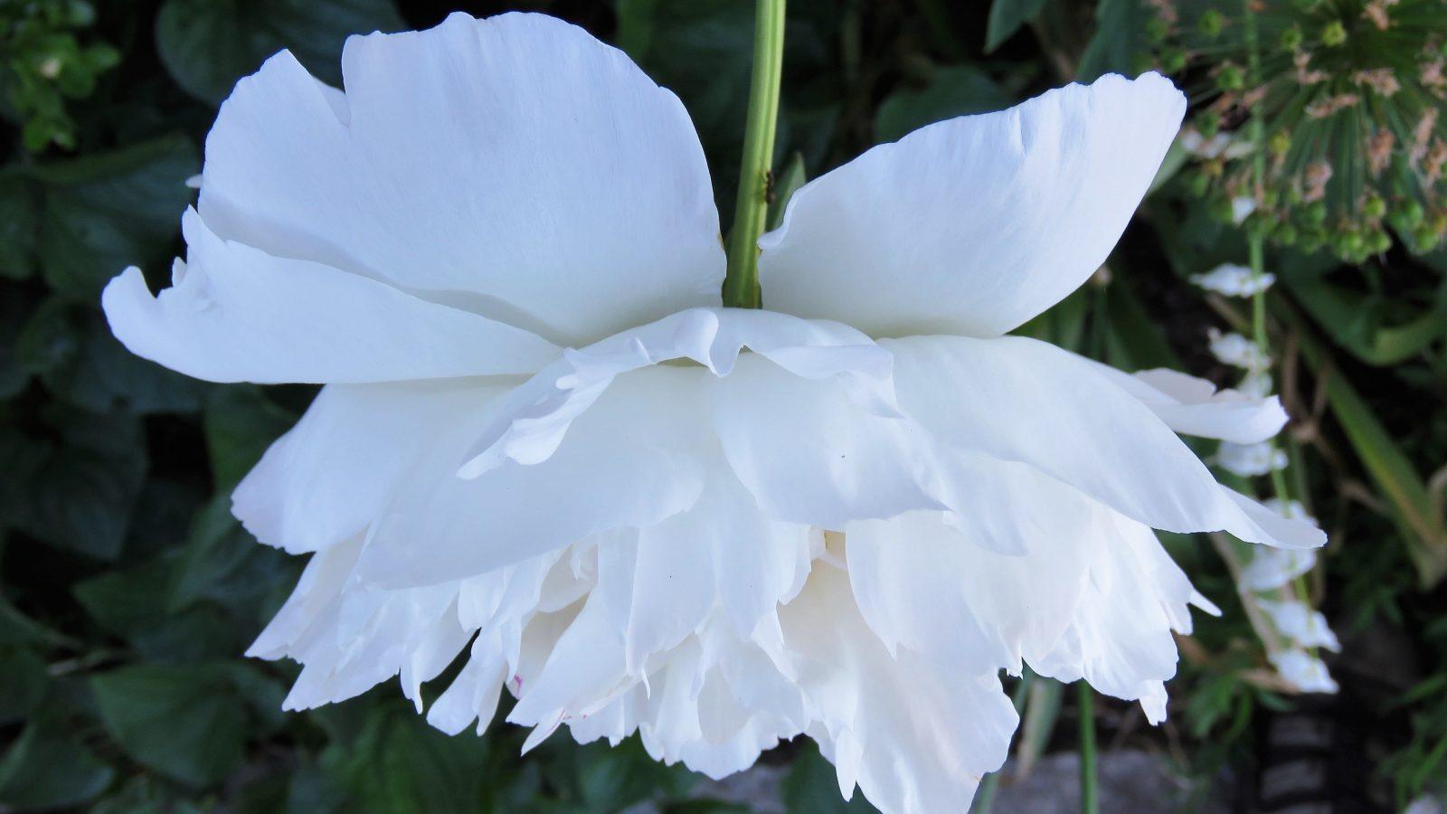 Har du hageblogging i tankene - nærbilde av undersiden av en peon
