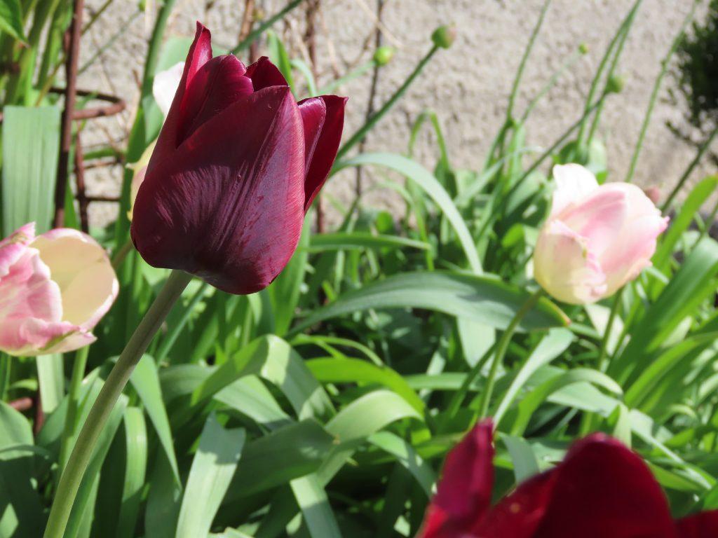 Nærbilde av tulipaner under stuevinduet