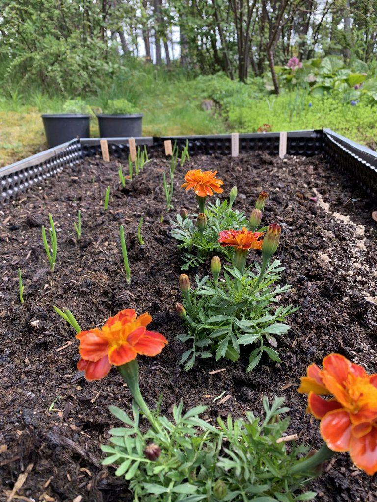 Vår i hagen med blomstring og rislende vannfontene - kjøkkenhage i høybed
