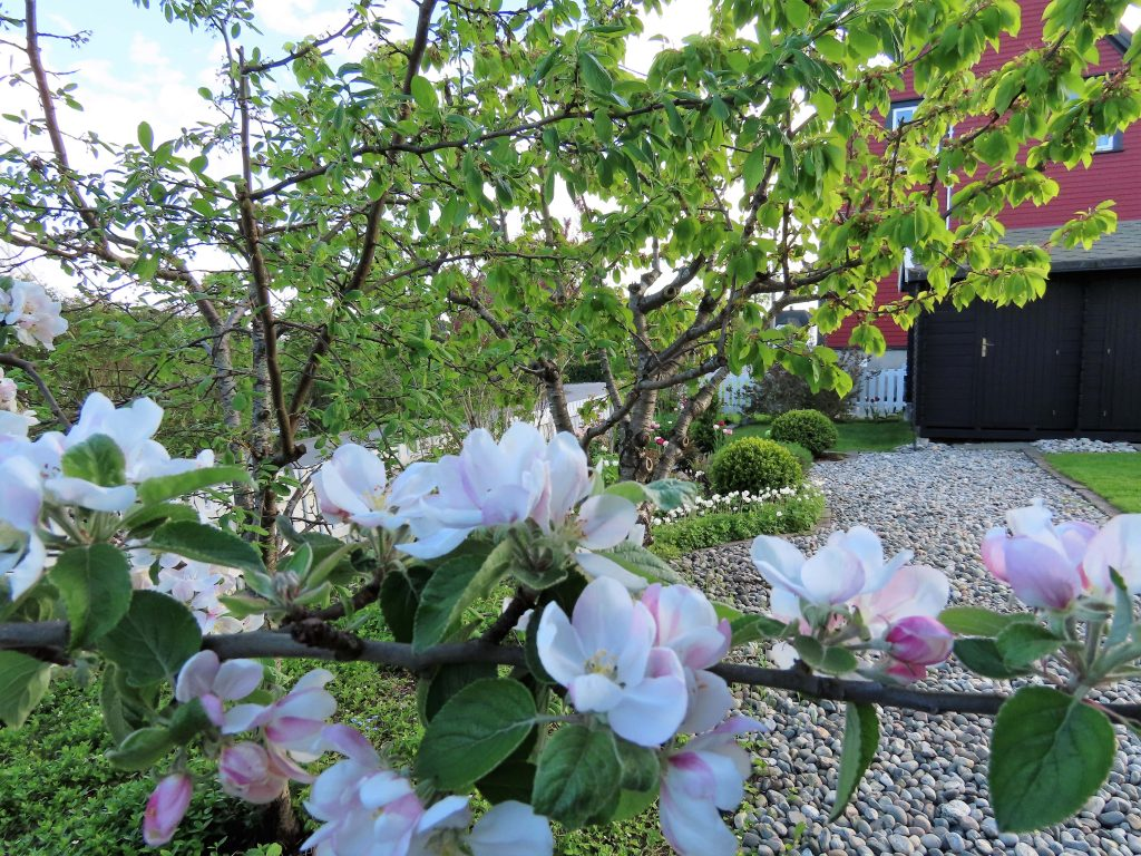 Epletreet i blomst