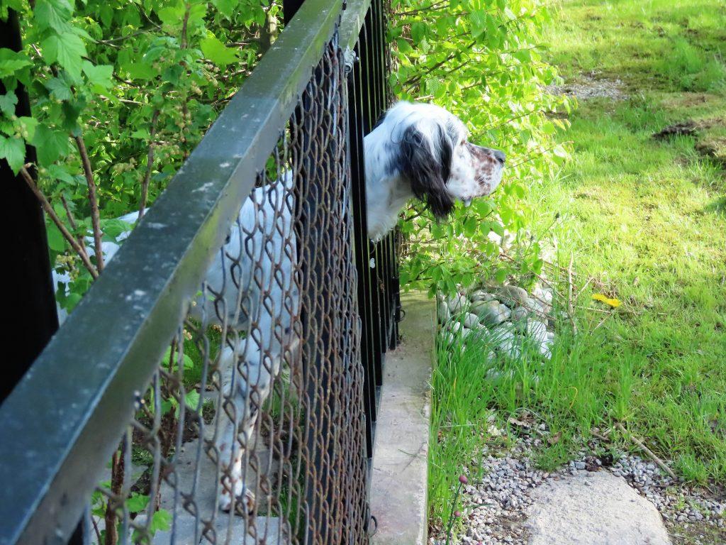 Hunden til brita og Eivind titter ut av gjerdet