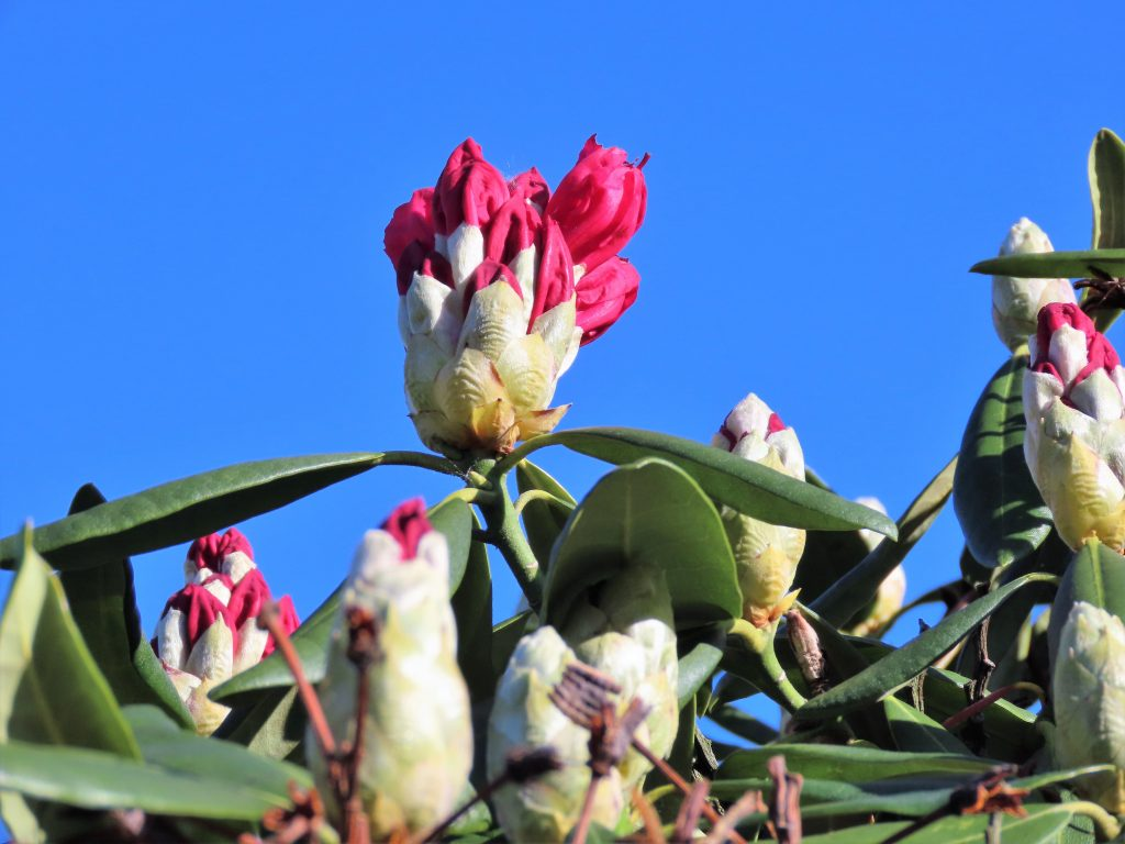 Rododendron mot skyfri himmel