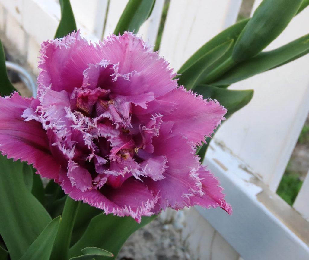 Rosa frynsete tulipan urbant og landlig med stauder og stillebener