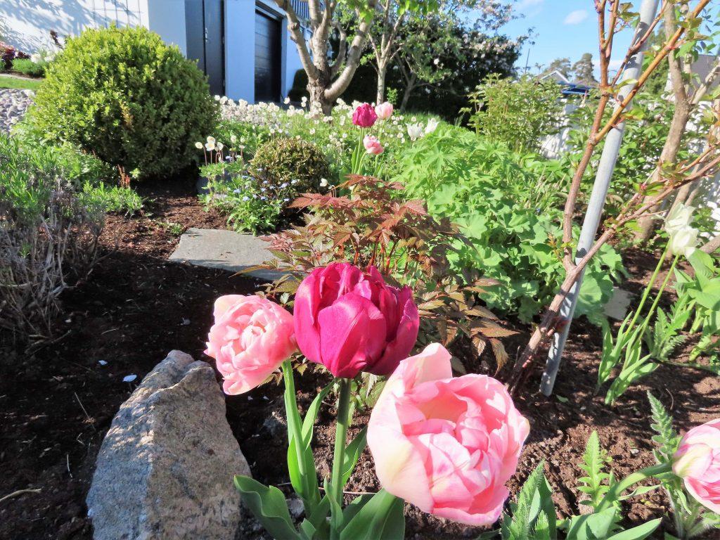 Tulipaner sammen med andre stauder