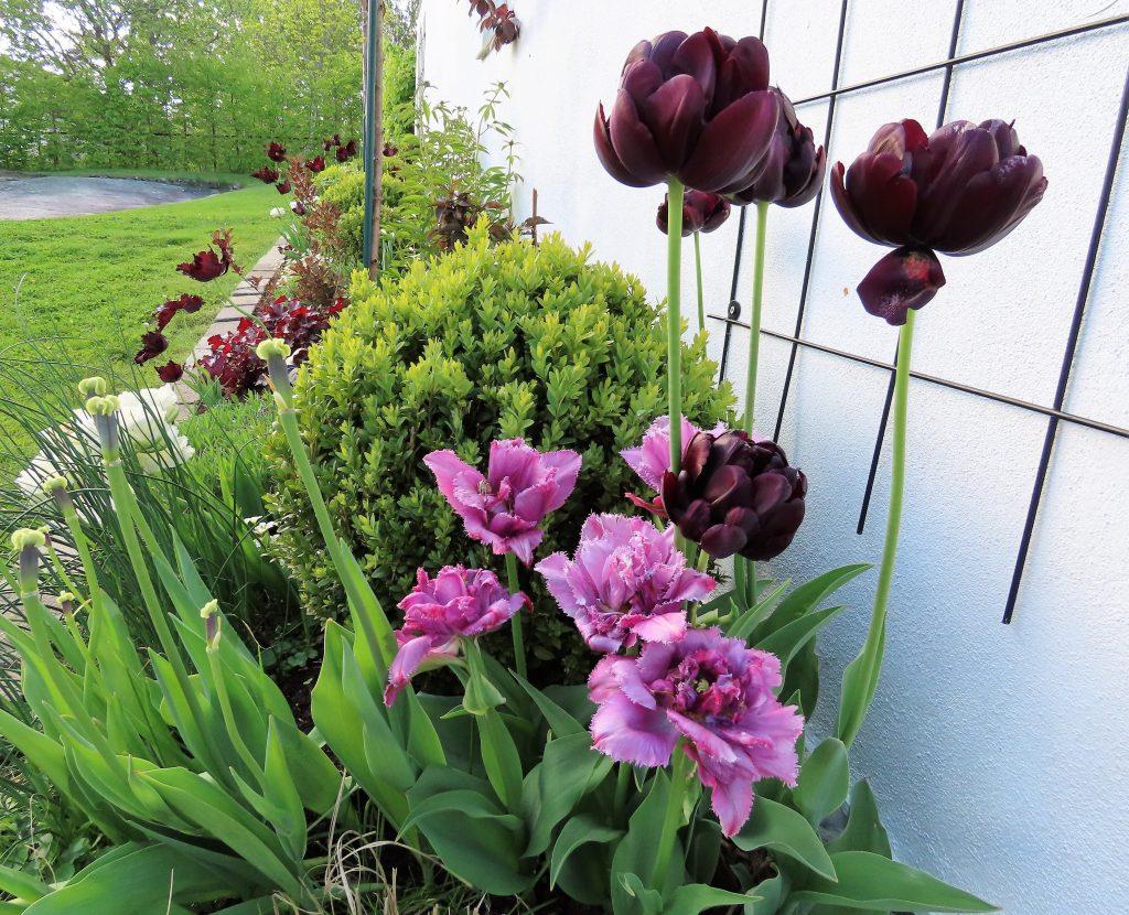 Tulipaner finnes i mange varianter hos Brita og Eivind