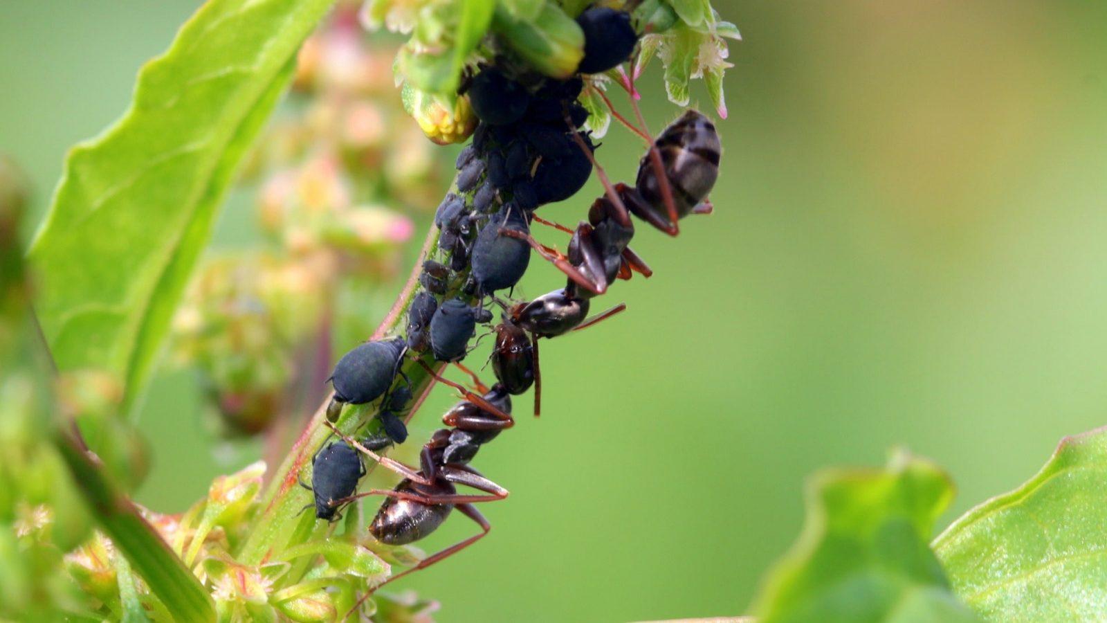 Foto Pixabay - maur - bekjempe maur og bladlus i frukttrær - lus og maur i massevis